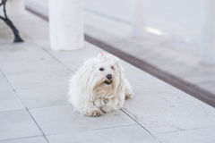 Dog. Bichon Maltese lying in the street royalty free stock photos