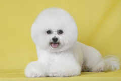 Dog Bichon puppy Stock Photos