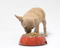 Dog Bichon puppy. Puppy Dog   eating food  on the white background Stock Image
