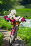 Dog on a bicycle Royalty Free Stock Photo