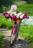 Dog on a bicycle Royalty Free Stock Image