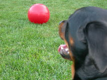 Dog and Big Ball. Female rottweiler dog eyeing big red boomer ball Stock Photos