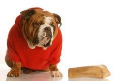 Dog with a big bone. English bulldog in red sweater sitting beside a large bone Stock Photos