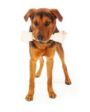 Dog With Big Bone. A large mixed breed dog with a big rawhide bone in his mouth. Isolated on a white background Stock Photos