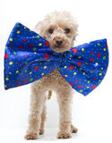 Dog in Big Bow Tie Stock Photography