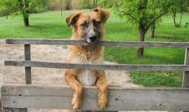 Dog. Big brown dog with sad eyes Stock Photos