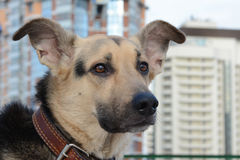 Dog in the big city. Is looking forward to the future stock images