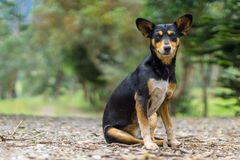 Dog with big ears sitting stock photography
