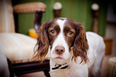 Dog and big eyes. Wide-Eyed Dog in a living room Stock Images