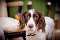 Dog and big eyes Stock Images