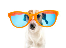 Dog with big glasses Stock Photos