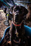 DOG. Big dog LEO is a great  model Royalty Free Stock Photo