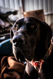 DOG. Big dog LEO is a great  model Royalty Free Stock Photography