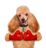Dog with big red gloves Royalty Free Stock Photography