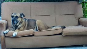 Dog. A big dog sitting on the couch Royalty Free Stock Images