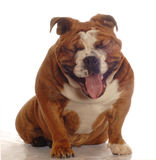 Dog with big smile Royalty Free Stock Images