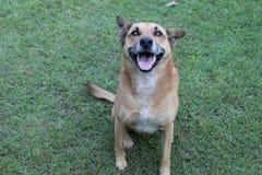Dog - big smile. Pet Dingo/German Shephard with a big smile Royalty Free Stock Image