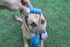 Dog - big smile. Pet Dingo/German Shephard licking lips in anticipation Royalty Free Stock Image