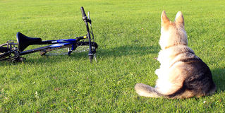 Dog and bike Stock Image
