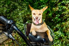 Dog on a bike trailer or basket Royalty Free Stock Photography