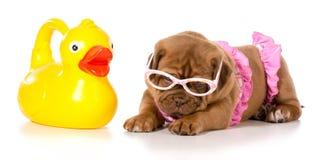 Dog in bikini Stock Image