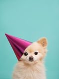 Dog with birthdau hat at blue background Stock Photos