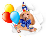 Dog birthday with balloons and cake. Royalty Free Stock Photos
