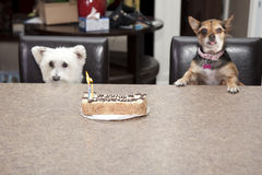 Dog birthday cake party. Two dogs sitting in chairs at a table with a birthday cake with candles Stock Image