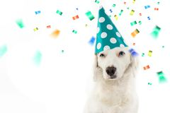 DOG BIRTHDAY OR NEW YEAR PARTY. BEAUTIFUL PUPPY CELEBRATING WITH stock photography