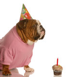 Dog birthday party Stock Photos