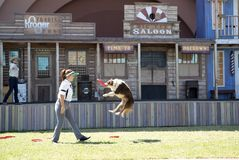 Dog bite the flying saucer while jumping. Wild West Pet Palooza on State Fair of Texas, Dallas USA 2017, a dog bite the flying saucer in the air Royalty Free Stock Photography
