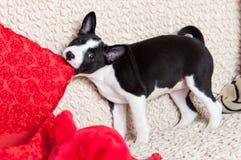 A dog bites pillow Royalty Free Stock Photos