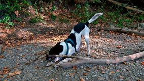 Dog biting a big trunk of wood. Black and white dog having fun while biting a big trunk of wood near the river royalty free stock photo