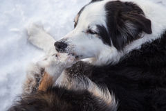 Dog biting ice from his paw Stock Image