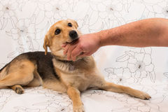 Dog biting. A dog with mens fingers in his mouth stock image