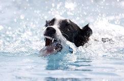 Dog biting at the water while swimming. A border collie dog swimming in the pool and biting at the water intensely stock images