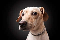 Dog on black background Stock Images