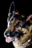 Dog on black background Stock Image