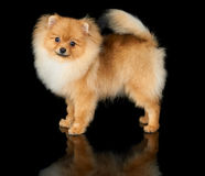Dog on black background Royalty Free Stock Photos