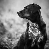 Dog, Black, Black And White, Dog Breed royalty free stock image
