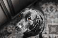 Dog, Black, Black And White, Dog Like Mammal Stock Photo