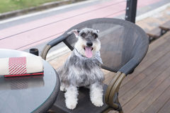 A dog black on the chair looking. A dog  on the chair Royalty Free Stock Photos
