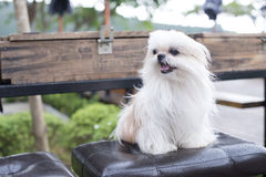 A dog black on the chair looking. A dog  on the chair Royalty Free Stock Images