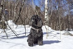 Dog. Black cocker spaniel resting in the mountains Royalty Free Stock Images