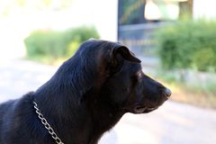 Dog black, dog head close, Dog watchdog, dog black portrait picture royalty free stock photography