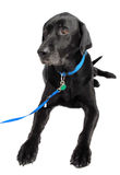 Dog black labrador Royalty Free Stock Image