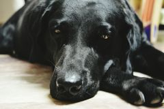 Dog. Black Labrador with deep eyes Stock Image