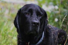 Dog. Black labrador enjoying life in forrest Stock Photography