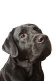 The dog black labrador  isolated on white Royalty Free Stock Photos