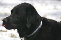 Dog. Black labrador like to take a bath Stock Photos